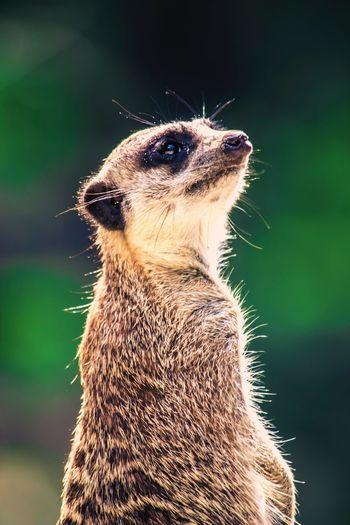 Close-up of meerkat looking away outdoors