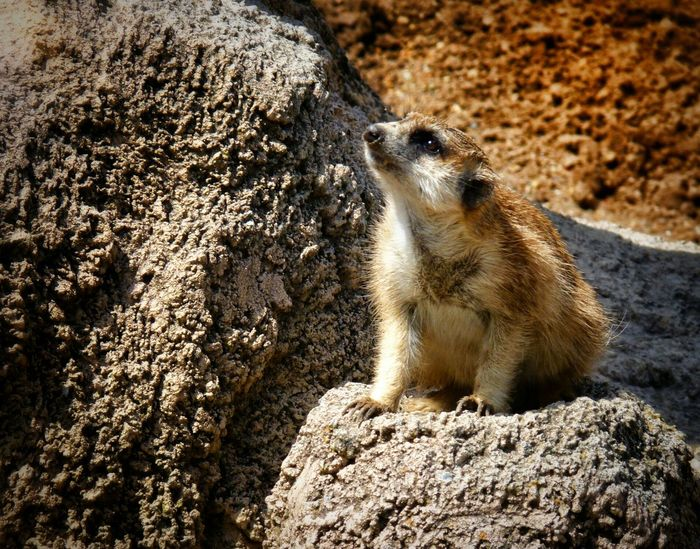 Suricata. Meerkat Animal Themes One Animal Sunlight Day Outdoors Close-up Mammal No People Portrait Sunny Day 🌞 Zoo Animal Beauty In Nature Arid Landscape Sand And Stone Colors Of Autumn Sun Bathing Temaiken The City Light