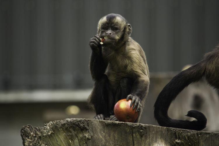Monkeys Animal