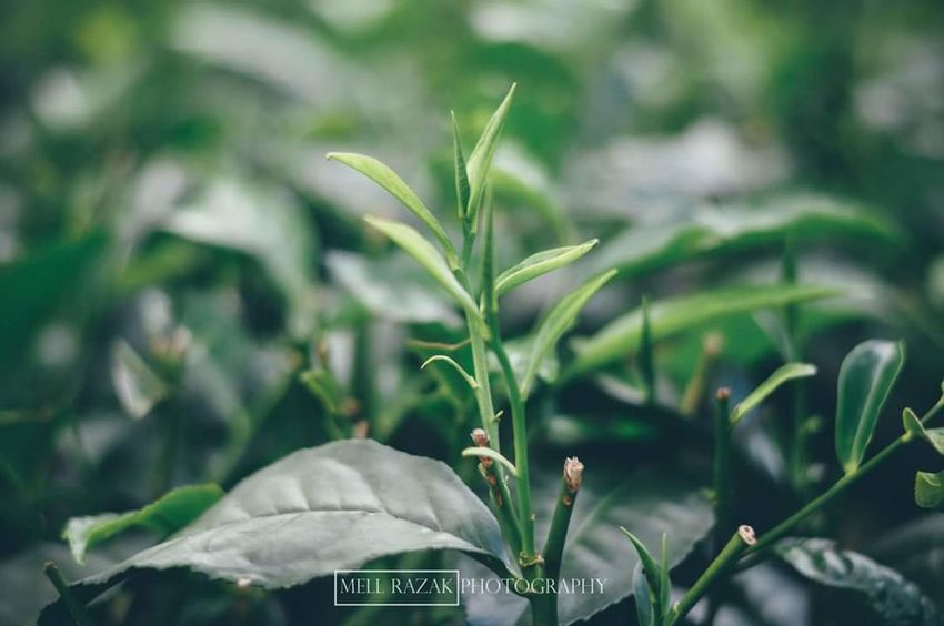 Green tea Green Tea Green Leaves Greentea Green Tea VSCO Vscocam Vscomalaysia Vscopahang Cameron Highlands Cameronhighlands Vscomalaysian Vscomalaya Leaves_collection Leave