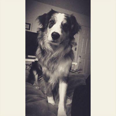 So happy to be home with this pretty boy 💘🐶 Australianshepard Puppielove Pupsofinstagram