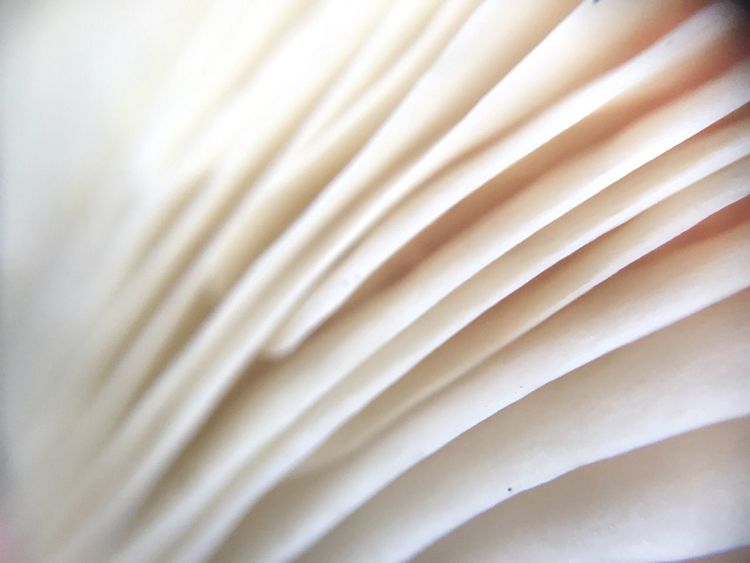 Full Frame Backgrounds No People Close-up Indoors  Day Mushroom Gills White Macro Macro Photography Wild Idaho Nature Forest Detail Pattern Mushrooms EyeEm Best Shots EyeEm Nature Lover Eye4photography  Food Close Up