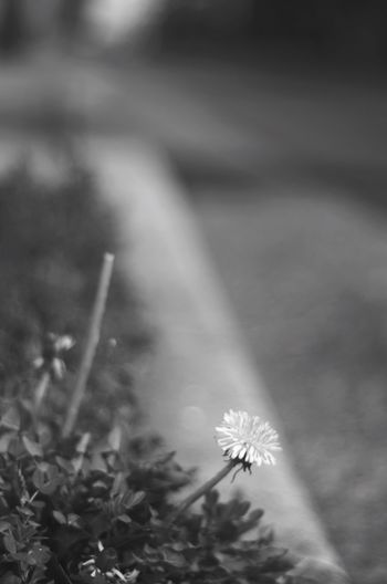 ちっちゃな季節な Blackandwhite Oldlens Bw_collection Black & White Pentax K-5 Monochrome Pentax BW Collection BW_photography Blackandwhite Photography Bw_lovers EyeEm Gallery Takumar SMCTAKUMAR Smcpentax55mmf18 Bw_flower Flowerporn Bwflower