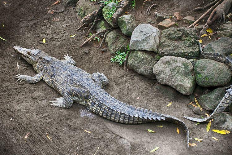 High Angle View Of Crocodile On Land