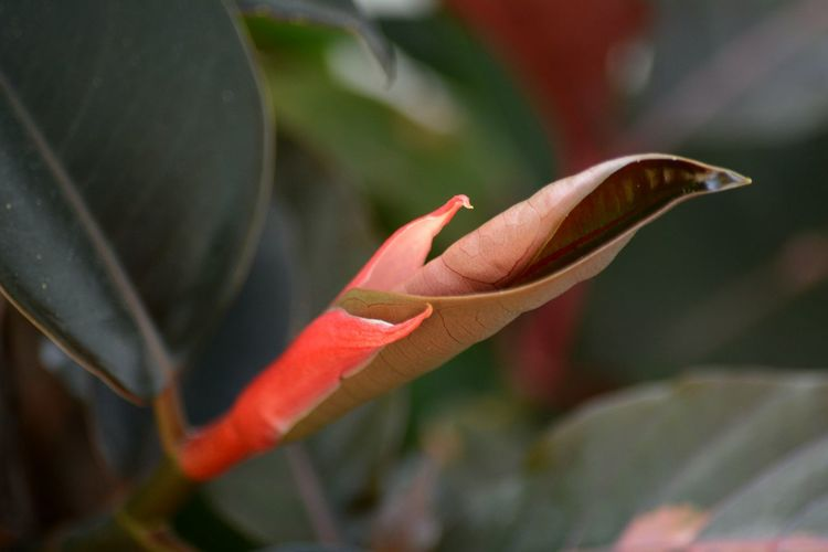 unfurling new leaf of a rubber tree plant Close-up Nature Red Outdoors Plant Beauty In Nature No People Rubber Tree Leaf Green Tropical Plants Full Frame Tropical Foliage Foliage