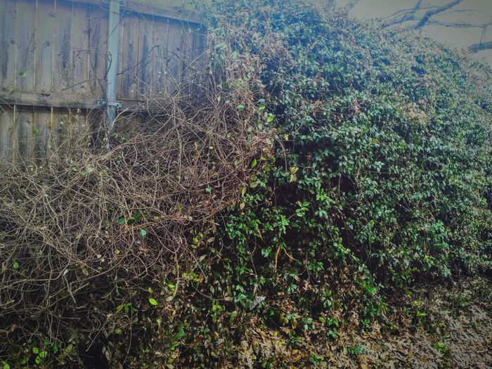 Day No People Growth Nature Outdoors Full Frame Backgrounds Fence Ivy Ivy Fence