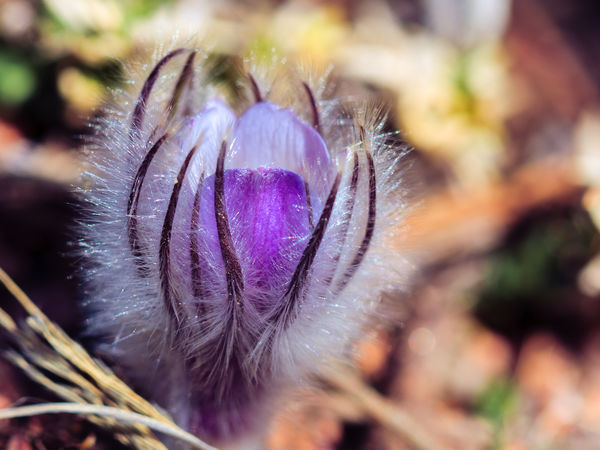 Beauty In Nature Close-up Flower Flower Head Focus On Foreground March Nature Outdoors Petal Plant Pulsatilla Pulsatilla Patens Pulsatilla Vulgaris Purple Selective Focus Spring Flowers Pasqueflower