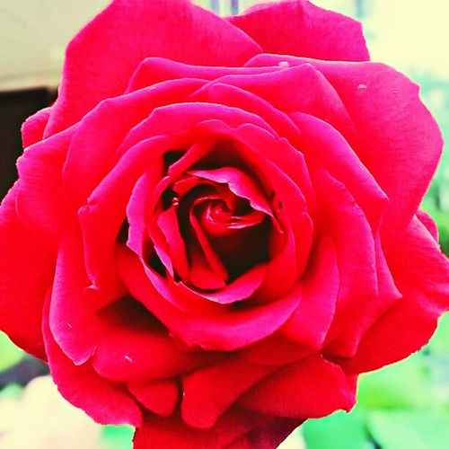 Flower Rose - Flower Fragility Petal Beauty In Nature Nature Red Close-up Simplicity Love Rose Petals Flower Head