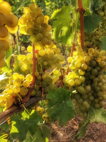 Erntezeit Trauben Herbst Freshness Fruit Yellow Grape Growth Hanging Close-up Flower Fragility Vineyard Field Plant Vine Focus On Foreground Nature Agriculture Day Outdoors Beauty In Nature Green Color Ladyphotographerofthemonth Colours Of Nature