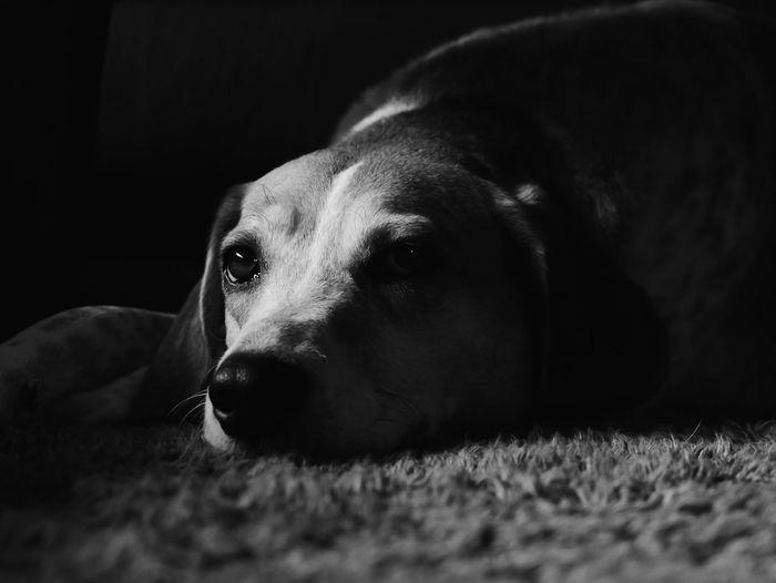 Close-Up Portrait Of Dog Lying On Rug