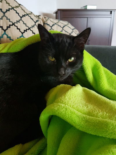Animal Themes Black Cat Black Fur Blanket Cat With Blanket Close-up Cuddle Domestic Animals Domestic Cat Home Indoor Cat Indoors  Kitten Looking At Camera No People One Animal Pets Relaxing Whisker
