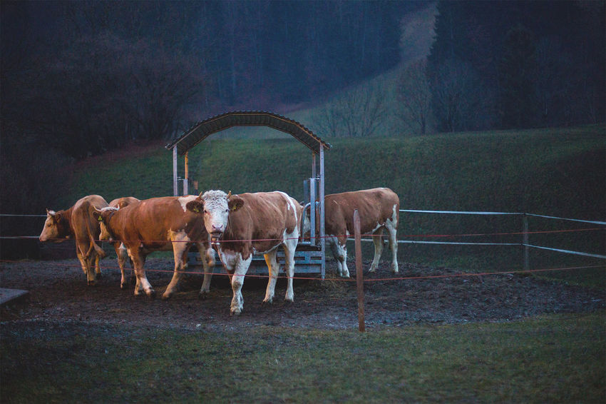 Cattle in evening light Animal Brown Day Domestic Animals Domestic Cattle Field Grass Grazing Herbivorous Horse Landscape Livestock Mammal Nature No People Outdoors Rural Scene Working Animal