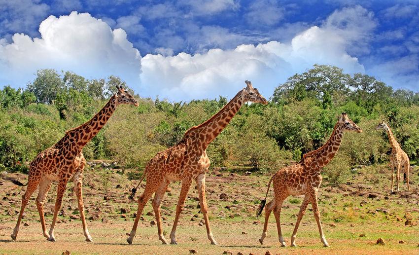 Giraffe on landscape against sky