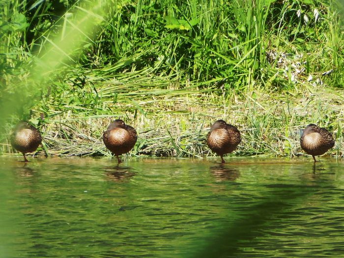 😄synchron Chillen?🤗 Ducks Enjoying The Sun Zoom ♡ Funny View Beauty In Nature Lucky Me! You Raise Me Up✨ Summertime🌼🍃🌺🌷☘️🌿😍✨ For My Friends 😍😘🎁 AfterworkchillenamKanal😎 Tranquil Scene Radlweg Am Mittellandkanal🤗 Perfect Summerday Close-up Thankful🦄 My Soul's Language Is📷