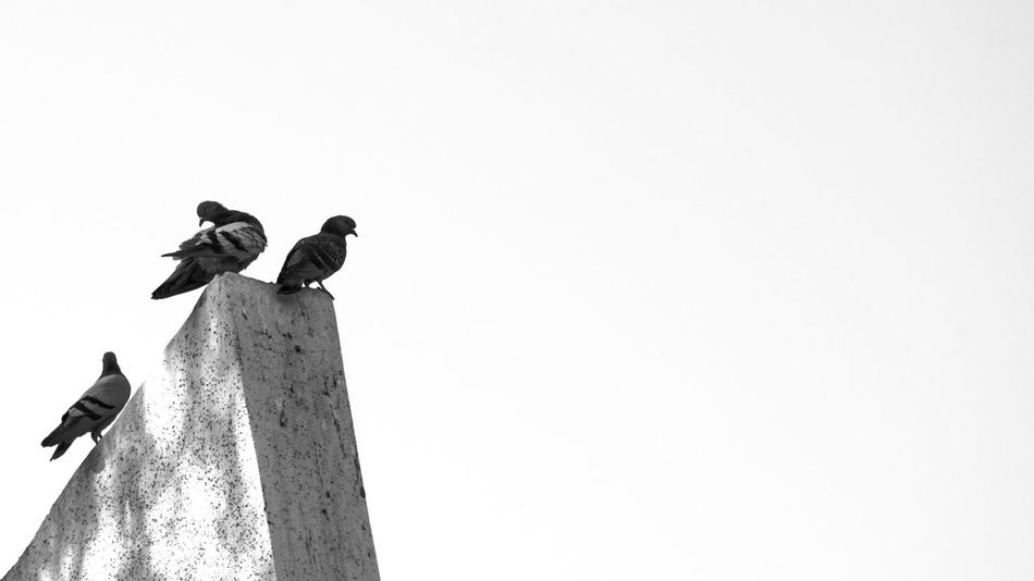 Its not lonely at the top.. Low Angle View Day Outdoors First Eyeem Photo Nikonphotography EyeEm New Here EyeEm Best Shots Photography D5500 NikonD5500 Check This Out Low Angle View Building Exterior Architecture Sky Black & White Blackandwhite Photography Nikontop Kish EyeEmNewHere Bird Birds Pigons