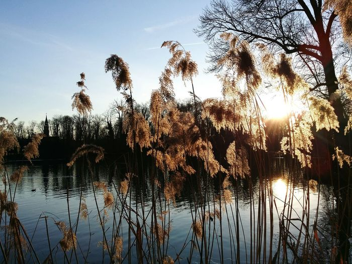 Siluette Trees Shining Lights Glimmering Afternoon Taking Photos New Year Around The World Shining Still Life Sunshine Lake View Reed Mirroring Plants Lakeshore Water Waterreflections  EyeEm Best Shots EyeEm Nature Lover Showcase: January Shining Light 43 Golden Moments Perspectives On Nature
