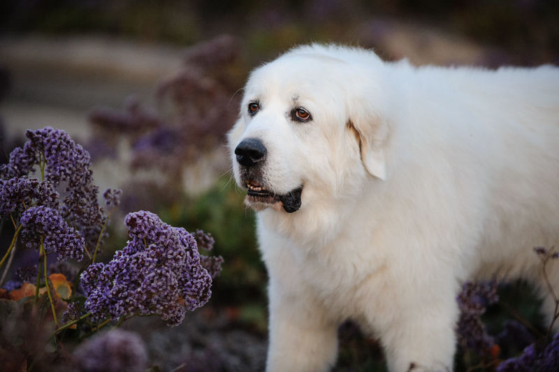 Great Pyrenees dog outdoor portrait in spring flowers Canine Dog Pets Animal Themes One Animal No People Close-up Day Flower White Color Animal Head  Domestic Animal Great Pyrenees Pyrenees White Dog Big Dog Spring Springtime Nature Domestic Animals Outdoors Photography Purebred Dog