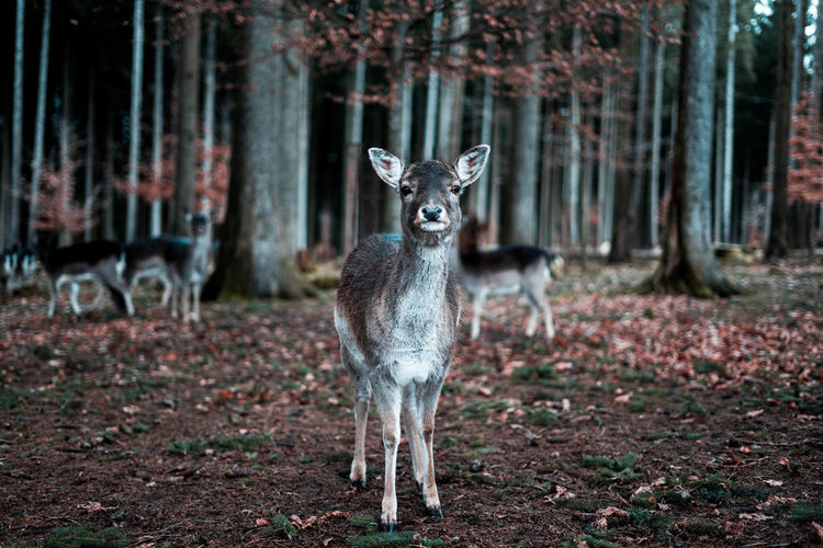 Animals In The Wild Deer Nature Animal Themes Animal Wildlife Animals Animals In The Wild Day Focus On Foreground Forest Looking At Camera Mammal Nature No People One Animal Outdoors Portrait Tree
