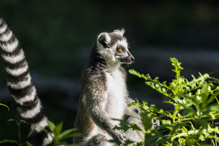 Animal Hair Animal Head  Animal Themes Animals In The Wild Beauty In Nature Focus On Foreground Green Green Color Lemur Mammal Nature No People One Animal Outdoors Side View Wildlife Zoology
