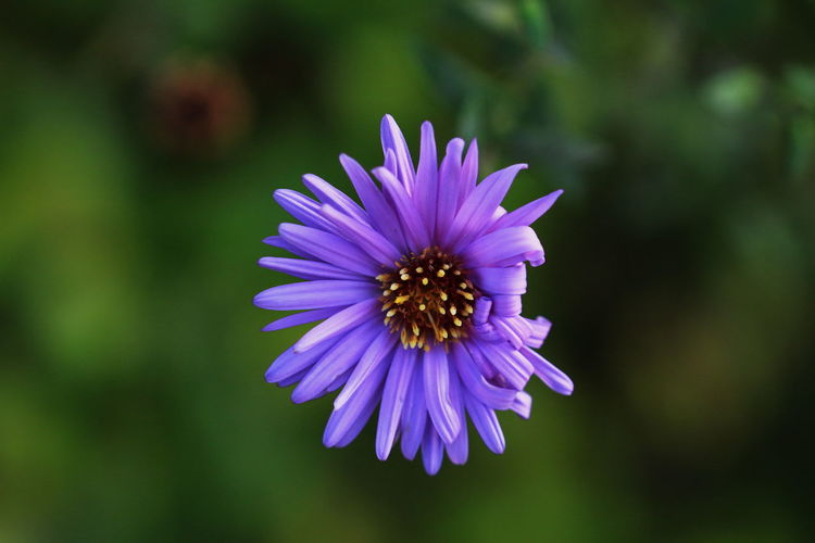 Close-up of purple flower