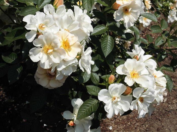 はな 華 花 白い 植物