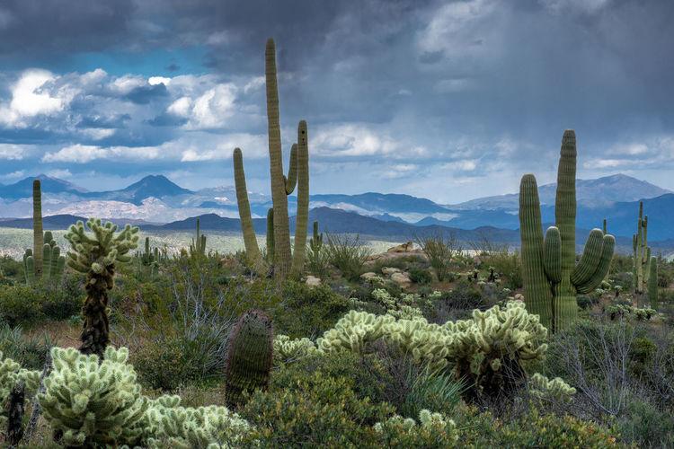 Saguaro cactus growing on field against sky