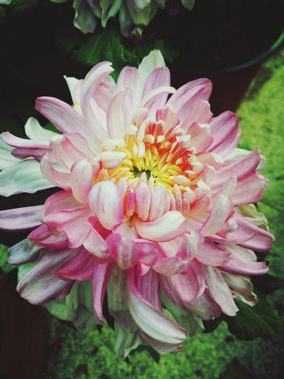 秋菊 Flower Pink Color Flower Head Outdoors Beauty Growth Blossom Beauty In Nature