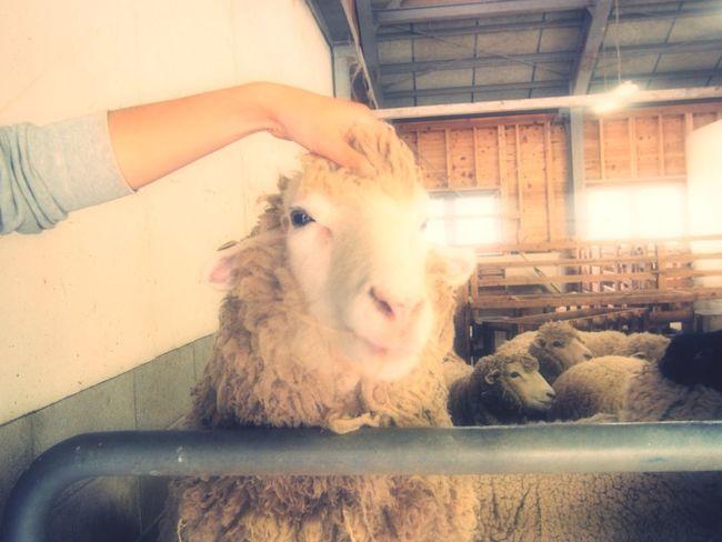初めてみた 羊 はじめましての写真 カメラ女子 Olympus Epl6
