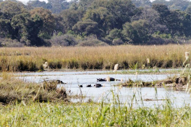 Hippos in water Hippos In The Water Hippos Family Of Animals Okovango Okovango River Cubango River Africa Caprivi EyeEm Selects Tree Water Lake Marsh Swamp Swimming Hippopotamus Reed Wetland