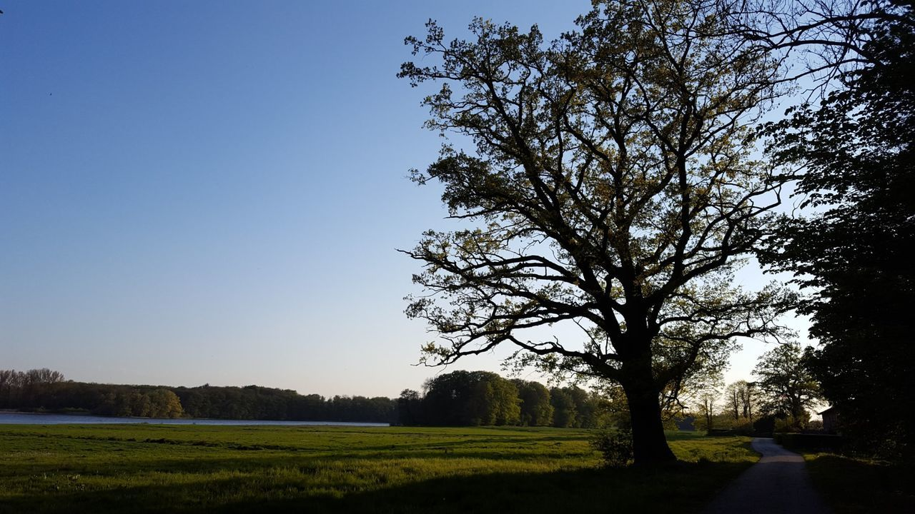 tree, clear sky, nature, tranquility, branch, beauty in nature, tranquil scene, landscape, scenics, bare tree, outdoors, no people, day, grass, sky, growth, blue
