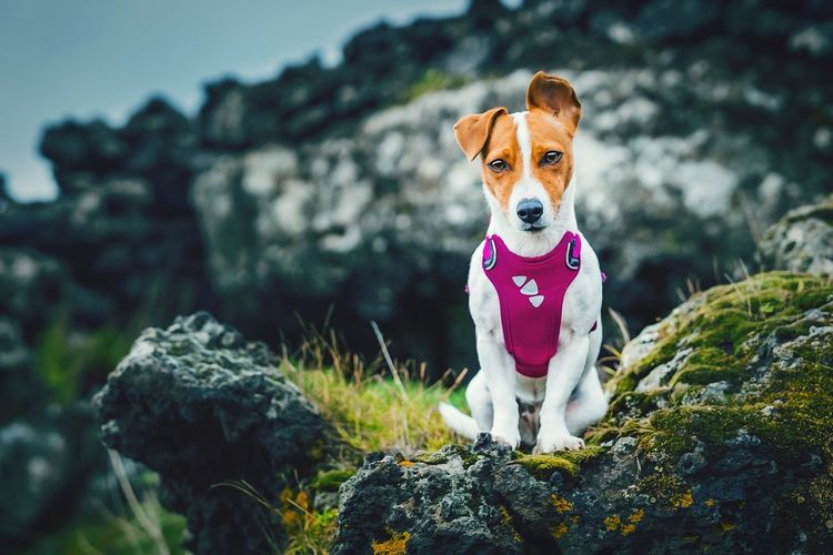 Tsunami the jack russell terrier dog posing in a volcanic rock landscape on mount etna, sicily