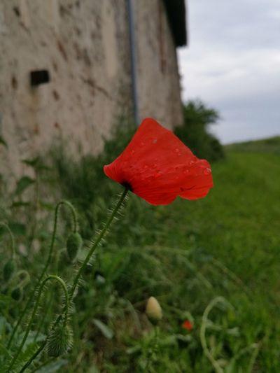 Poesie Coquelicot Campagne Fleur