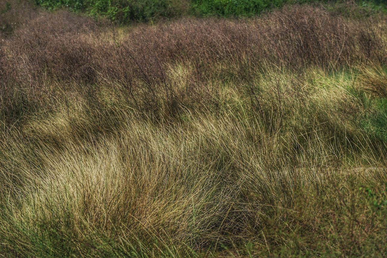 grass, field, nature, growth, day, outdoors, no people, plant, landscape, beauty in nature, close-up