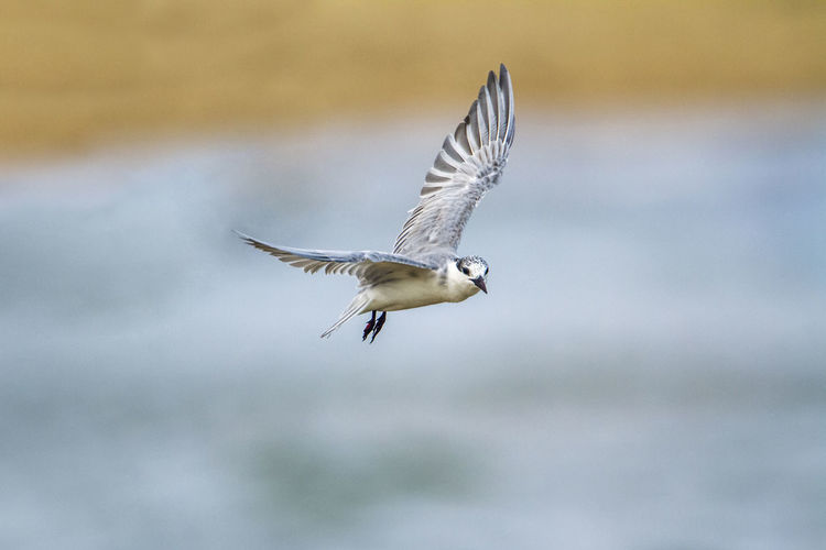Seagull flying over a blurred background