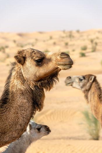 Vertical view of three camels in the Sahara Desert in Tunisia Arabian Douz Dunes Nature Sahara Desert Travel Tunisia Africa Animal Animal Themes Animal Wildlife Background Camel Camels Closeup Desert Dune Focus Landscape Mammal Sahara Sand Sun Texture Tourism
