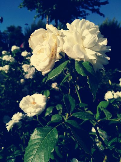 Sometimes in world, there is lovely colors. But I like this color that because the nature color can be color of love.Flower Beauty In Nature Rosa Green Color Whiterosa Loved