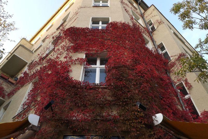 Red Ivy Autumn