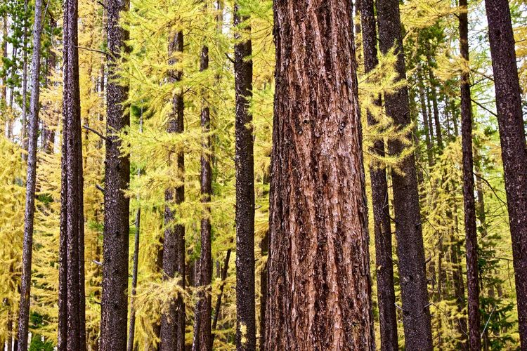 Autumn Scene of Yellow Larch Needles Autumn Backgrounds Day Fall Season Forest Full Frame Green Growth Horizontal Composition Idyllic Landscape Larch Tree Lush Foliage Nature No People Non-urban Scene Outdoors Tranquil Scene Tree Tree Trunk WoodLand Woods Yellow Leaves Yellow Needles