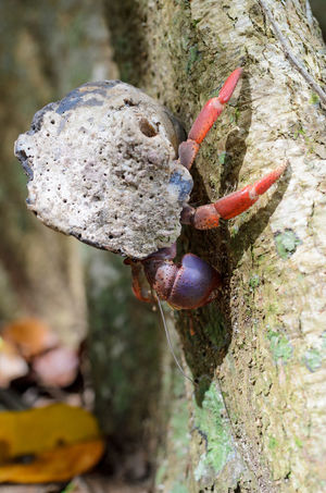 Hermit crab in Cahuita National Park Costa Rica Crab Limon National Park Tree Animal Cahuita Carribean Hermit Crab Nature Outdoors Wildlife
