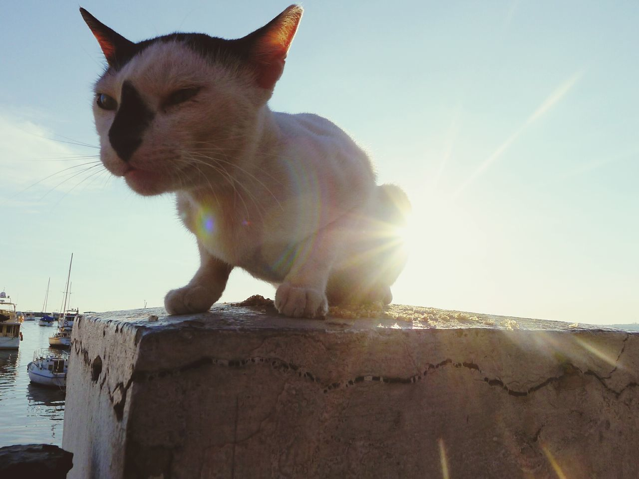 domestic cat, pets, animal themes, one animal, domestic animals, feline, mammal, sitting, sunlight, no people, day, sky, outdoors, siamese cat, nature, close-up