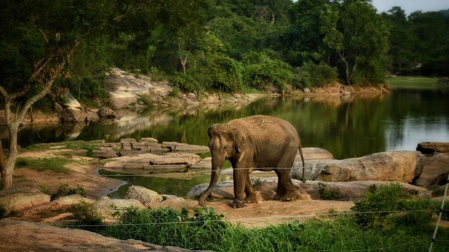 an elephant on strall at bannerghatta national park Tree Water Elephant Lake African Elephant Animal Themes Grass Green Color Landscape Plant Animal Trunk Indian Elephant Grazing Tusk