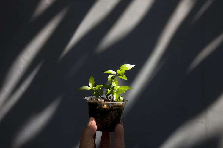 Cropped Hand Holding Plant In Container Against Wall