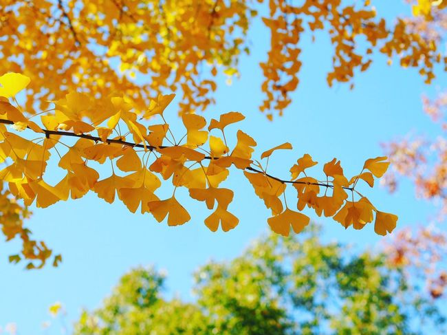 Autumn Leaf Outdoors Tree Nature Mukoujima Japanese Garden Tokyo,Japan Beauty In Nature Ginkgo Ginkgo Leaves Ginkgo Leaf Ginkgo Tree Blue Sky Colored Leaves Day