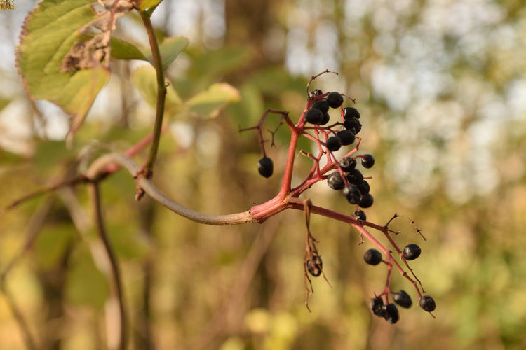 Black elderberry fruit Plant Fruit Focus On Foreground Berry Fruit Growth Tree Nature Day Branch Close-up Freshness No People Beauty In Nature Twig Plant Part Outdoors Leaf Ripe Elderberry Elder Black Elder Sambucus Nigra EyeEmNewHere