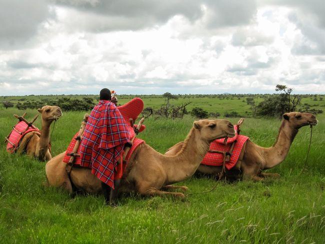 Camel Camels Masai Habitat Natural Habitat Grassland African Landscape Landscape African Safari Africa Kenya Kenyan Safari Safari Kenyan Masai Red Masai Mara