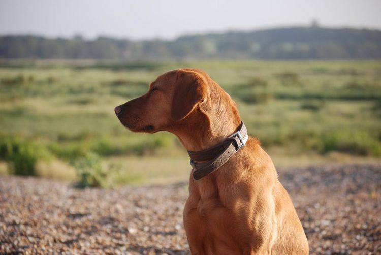 Georgie @bonzosworld Instagram Domestic Animals Dog One Animal Animal Themes Pets Focus On Foreground Mammal Field Close-up Outdoors Day No People Nature Red Lab Labrador Retriever Labrador Lab Pet Portraits