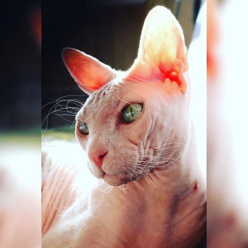 Sphinx cat Sphinx Cat Mammal Domestic Animals Feline Close-up Indoors  Day Domestic Cat