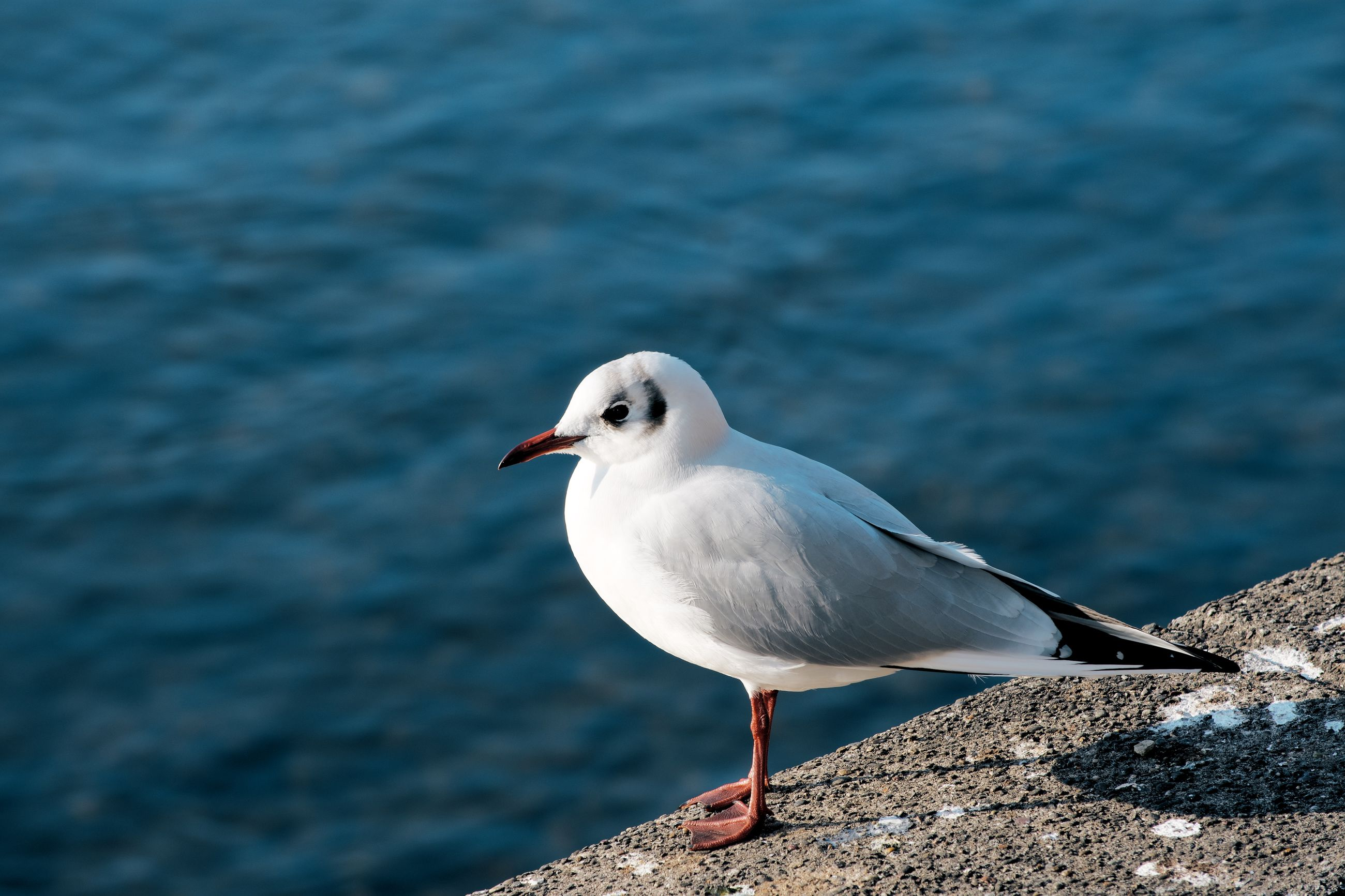 animal, animal themes, bird, animals in the wild, vertebrate, animal wildlife, one animal, seagull, day, focus on foreground, no people, water, perching, nature, white color, sea, sea bird, black-headed gull, close-up, outdoors