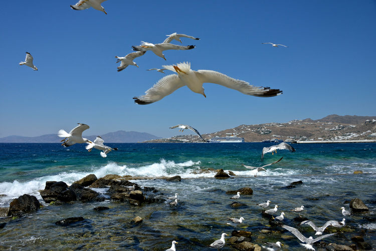 flock of seagulls flying and other in the water. Costa Deliziosa cruise ship moored behind. Animal Wildlife Animal Group Of Animals Flying Sea Bird No People Seagull Spread Wings Motion Animal Themes Costa Deliziosa Seascape Large Group Of Animals Beauty In Nature Animals In The Wild Travel Transportation Flock Of Birds Marine Mykonos,Greece Nature Water Open Wings