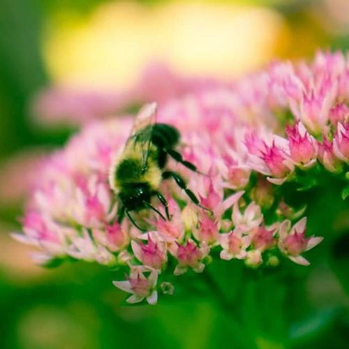 A bumblebee getting some nectar before Fall weather hits Saint Paul. ComoPark Captureminnesota Capturesaintpaul Macro Insect Flower